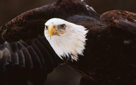 Картинка птица, орел, крылья, клюв, белоголовый
