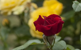 Обои роза, бутон, боке