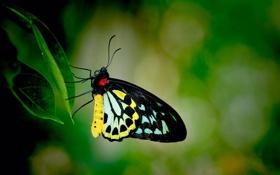 Обои бабочка, сидит, лист