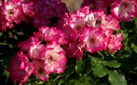 Обои соцветия, розы, куст