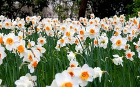 Картинка цветы, много, нарциссы