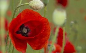 Картинка цветок, поле, стебель, луг, мак, лепестки