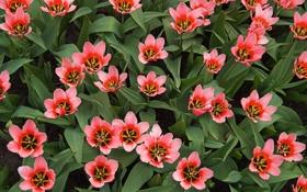 Обои тюльпаны, розовые, плантация