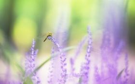 Обои фиолетовый, крылья, стрекоза, боке, лаванды