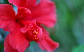 Картинка цветок, макро, красный, природа, лепестки, гибискус