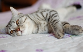 Обои cat, bed, pose
