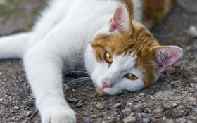 Картинка кот, ©Tambako The Jaguar, взгляд, кошка