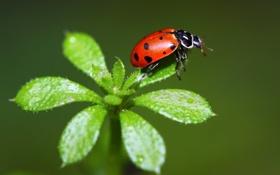 Картинка листья, природа, растение, божья коровка, насекомое