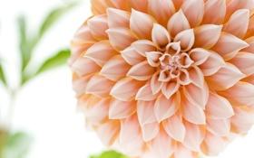 Обои цветок, макро, георгин