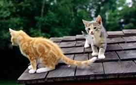 Обои кошки, крыша, морда, рыжий