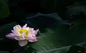 Обои листья, кувшинка, цветение, the leaves, the water-Lily blossom