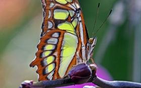 Обои бабочка, Макро, насекомое, butterfly, insect, Macro, Malachite Butterfly