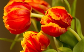Картинка тюльпаны, бутоны, макро
