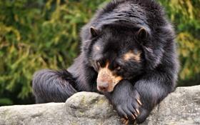 Картинка глаза, взгляд, черный, шерсть, Медведь, лежит