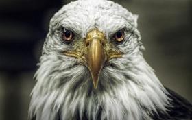 Обои птица, хищник, орлан, белоголовый