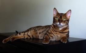 Картинка кошка, лежит, комод, пятнистая