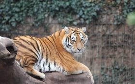 Картинка взгляд, тигр, зверь, зоопарк