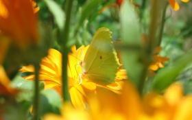 Картинка лето, цветы, бабочка