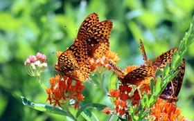 Обои бабочки, Перламутровка адиппа, Перламутровка красная, макро, цветы