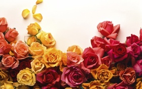 Обои red, flower, yellow, pink, flowers, roses, bunch