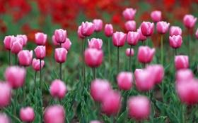 Обои природа, тюльпаны, цветы, весна