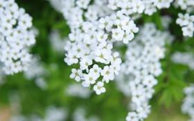 Картинка белые, цветы, ветки, весна