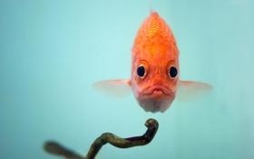 Картинка природа, фон, рыба, squirrelfish