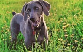 Картинка зелень, трава, собака, одуванчики, смотрит, weimaraner