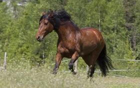 Обои конь, лошадь, грива, красавец, гнедой