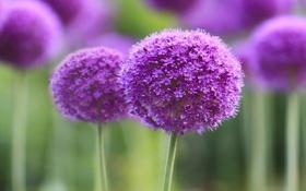 Обои макро, цветы, flower, purple, symphony, branch