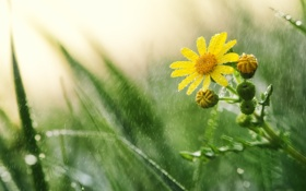 Картинка цветок, капли, макро, желтый, роса, дождь, ромашка