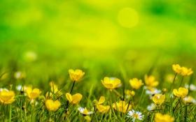 Обои трава, Цветы, желтые, фон, ромашки, размытость