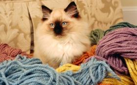 Обои кот, цвета, нитки, порода, вязание, бирманская кошка