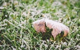 Обои иней, трава, лист, листок, клен, зеленая