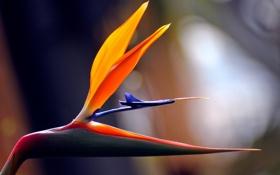 Картинка цветок, природа, фокус, лепестки, Африка, тропический, райская птица