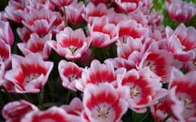Картинка цветы, тюльпаны, много, бело-розовы