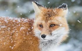 Картинка зима, снег, лиса, лис