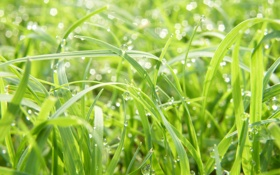 Обои зелень, трава, капли, макро, свежесть, роса