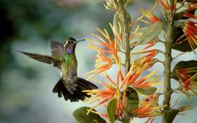 Картинка цветок, полет, птица, колибри