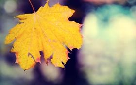 Обои осенний, кленовый, лист, макро