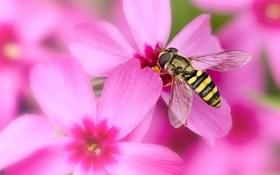 Обои макро, цветы, насекомое, журчалка