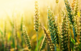 Картинка пшеница, поле, макро, природа, колоски, злаки