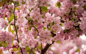 Картинка цветы, ветки, вишня, розовый, сакура