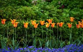 Обои тюльпаны, анютины глазки, виола