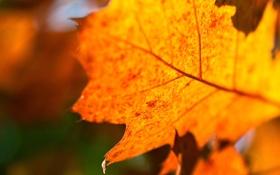 Картинка осень, природа, оранжевый, свет, лист, макро, прожилки