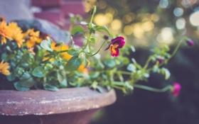 Обои цветок, земля, растение, лепестки, анютины глазки