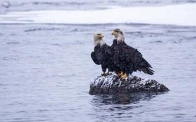 Обои камень, белоголовый орлан, вода, птицы, зима, Alaska, снег