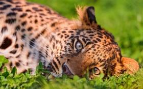 Обои трава, Леопард, хищник, большая кошка