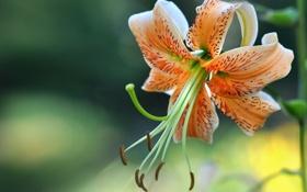 Картинка листья, лилия, оранжевая, цветение, пестик, тычинка