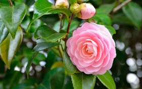 Обои цветок, лепестки, камелия, розовая